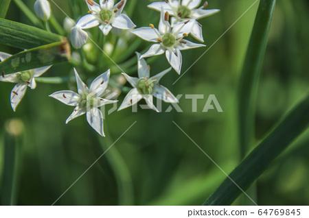 대 灣韭 菜花, 韭菜 是 일종 營養 豐富으로 綠黃 색 채소, 在秋天 유 很多 흰색으로 꽃가루 성 미려으로 반구형 꽃. 64769845