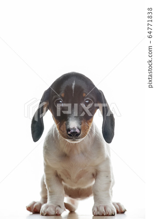 image of dog white background  64771838