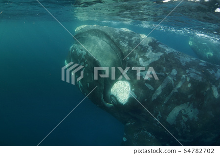 南方藍鯨 64782702