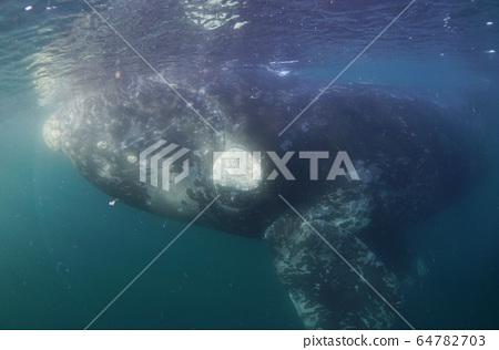 南方藍鯨 64782703