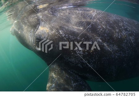 Southern blue whale 64782705