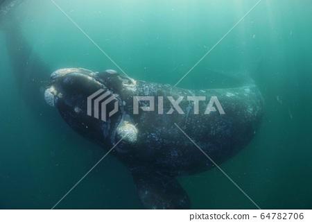 南方藍鯨 64782706