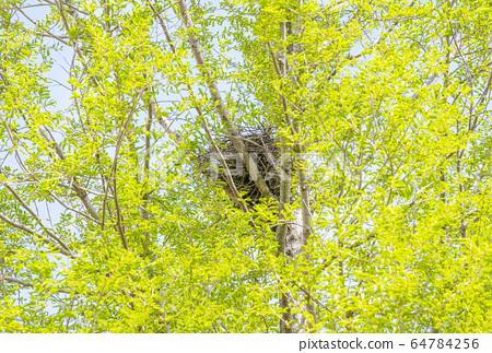 燕窩和新鮮綠色烏鴉的巢中繁殖新鮮的綠色圖像材料野生動物保護法 64784256