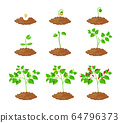 Chilli Pepper Plant Growth Stages Infographic Elements. Chili Sapling Planting Process from Seeds Sprout to Ripe Vegetable. Plant Life Cycle Isolated on White Background. Cartoon Vector Illustration 64796373