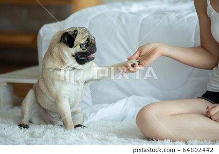 Best friend Human hand and dog paw pug breed for love and trust feeling so comfortable 64802442