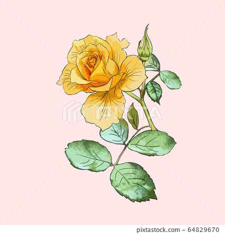 Hand painted rose flower illustration 64829670