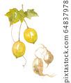 Cucumber cucumber fruit and root 64837978