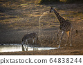 Giraffe in Kruger National park, South Africa 64838244