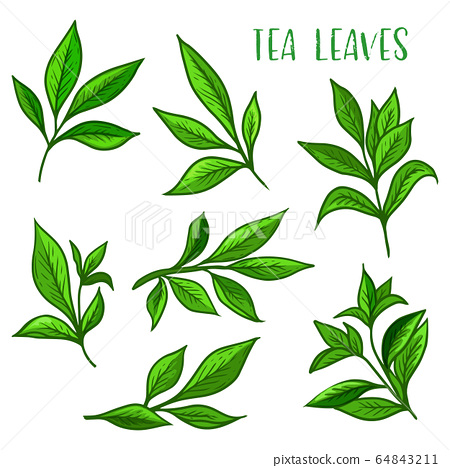 Tea leaves icon, green tea leaf for package 64843211
