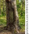 Forest in Zwierzyniec, Poland 64844219