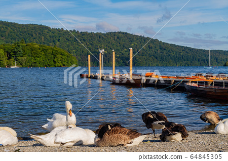 Many goose resting by the harbor of Windermere 64845305