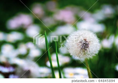 Dandelion flowers in the grass closeup 64845894