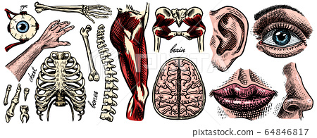 Anatomy of human bones and muscles set. Organ systems. Body and Thorax and pelvis, heart and brain 64846817