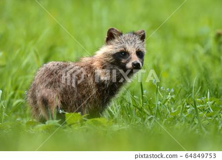 Raccoon dog 64849753