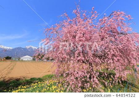 Kai Komagatake和Matsumoto的櫻花樹 64854522