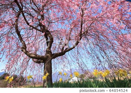 카이 고마와 眞原의 벚꽃길 64854524