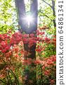 杜鵑花和太陽 64861341