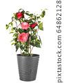 Camellia in studio 64862128