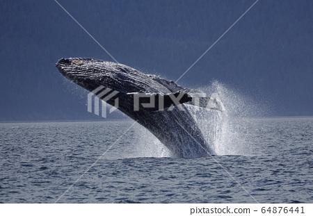 駝背鯨漂白劑 64876441