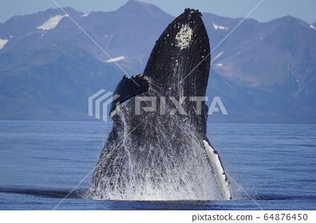 駝背鯨漂白劑 64876450