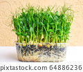bunch of green pea sprouts growing in pot for 64886236