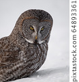 Great Grey Owl in Canada  64893361