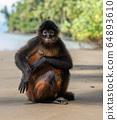 Spider Monkey in Costa Rica  64893610
