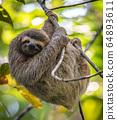 A sloth in Costa Rica  64893611