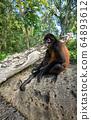 Spider Monkey in Costa Rica  64893612