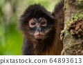 Spider Monkey in Costa Rica  64893613