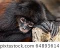 Spider Monkey in Costa Rica  64893614