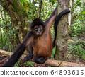 Spider Monkey in Costa Rica  64893615