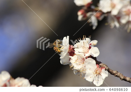 Honey Bee on a Apricot bloom that's bright and colorful in Kansas. 64898610