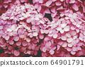 핑크 수국 64901791