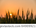 Wheat field with sunset 64909921