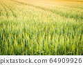 Wheat field illuminated by the setting sun 64909926