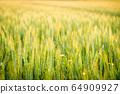 Wheat field illuminated by the setting sun 64909927