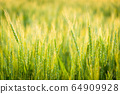 Wheat field illuminated by the setting sun 64909928