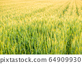Wheat field illuminated by the setting sun 64909930