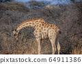 A lone giraffe in Etosha National Park, Namibia 64911386