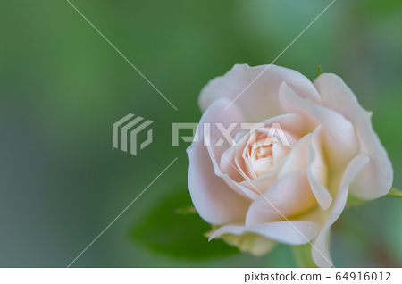 Rose that blooms quietly