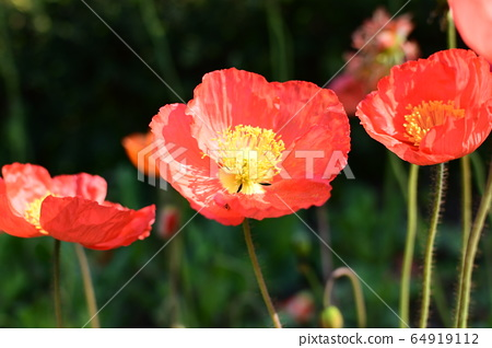 빨간 양귀비꽃 64919112