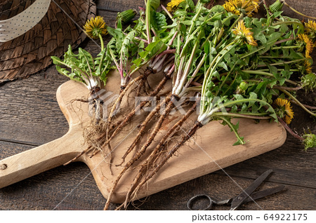 Whole dandelion plants with roots on a table 64922175