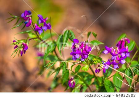The Spring pea, Lathyrus vernus latin name. 64922885