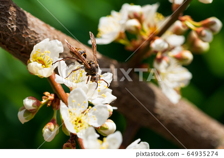 梅花,蜜蜂,春天,青陽,忠清 64935274