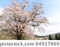 히로시마 현 쇼 바라시 동성 세 大桜 중 하나 물떼새 다른 척의 산 벚나무 64937660