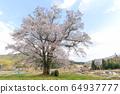 히로시마 현 쇼 바라시 동성 세 大桜 중 하나 물떼새 다른 긴 산 벚나무 64937777
