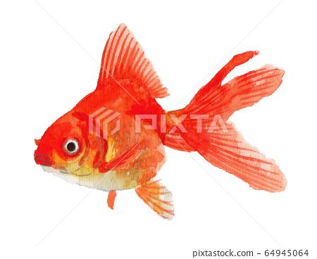 金魚龍金水彩畫畫 64945064