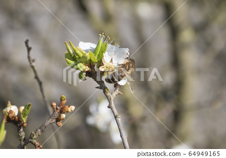 close up beautiful macro blooming white apple blossom with flying bee gathering pollen. buds flower twing with leaves, selective focus, natural bokeh green background, copy space 64949165