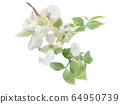 White flowering dogwood on branch watercolor 64950739